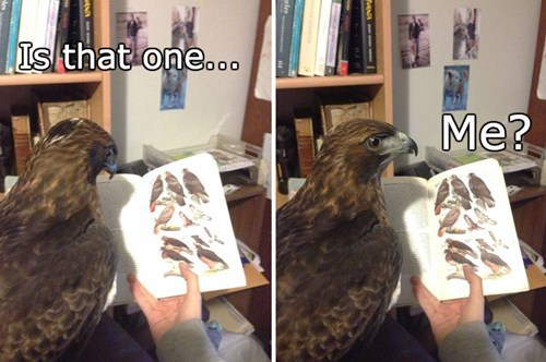 hawk the internets birds famous