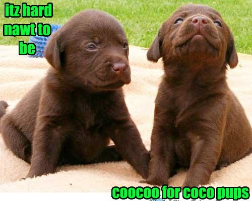 dogs,puns,cocoa puffs,chocolate lab