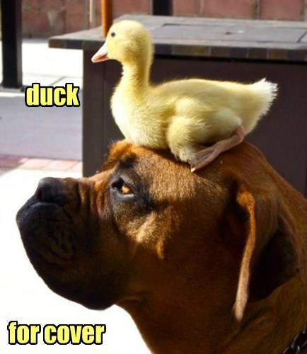 dogs,duck,cover,caption