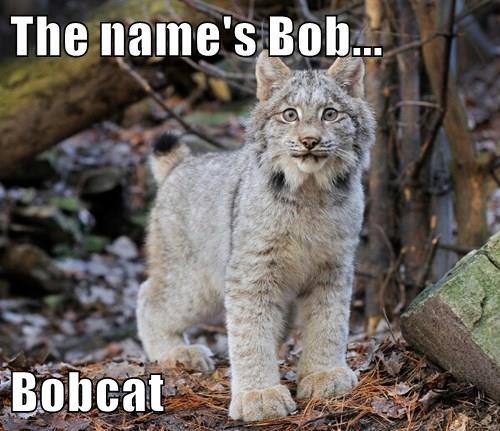 The name's Bob...  Bobcat