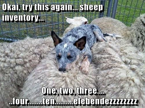animals shepherd dogs nap sheep - 8435358720