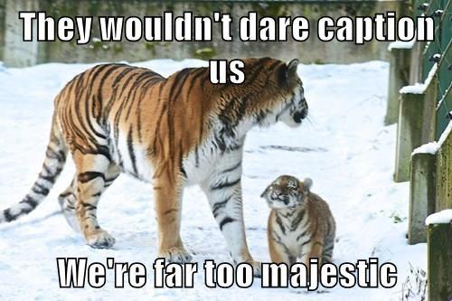 animals tiger caption Cats - 8435709184