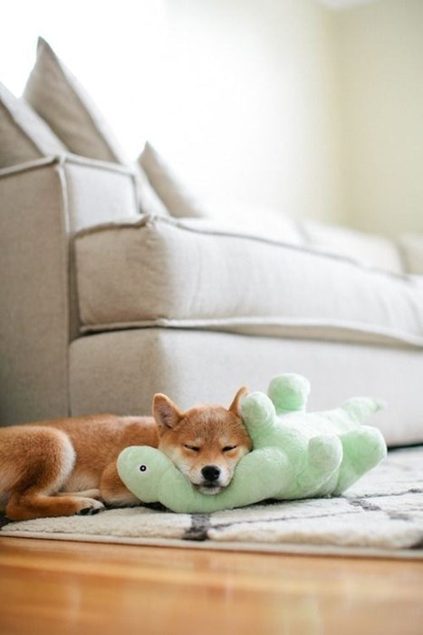 dogs puppy cute shiba inu sleeping - 8435833088