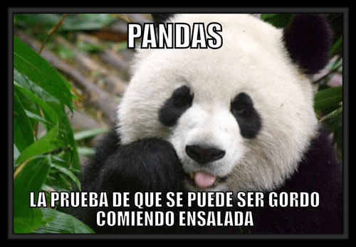 pandas gordos