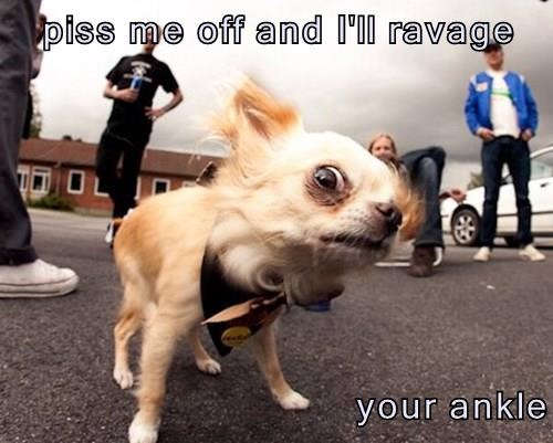 animals ankle dogs attack chihuahua - 8436076800