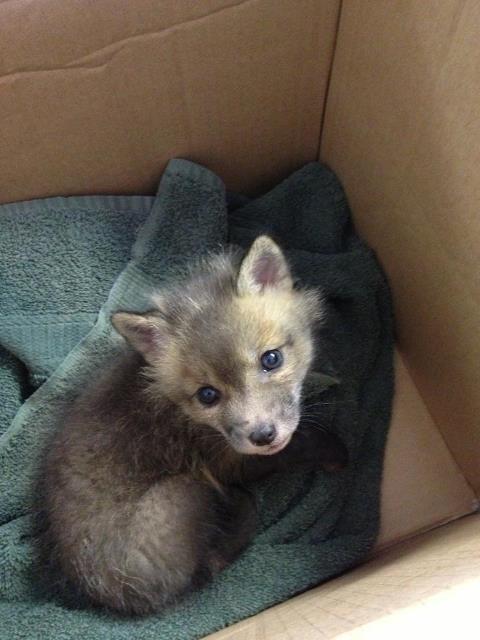 box fox cute - 8436387584