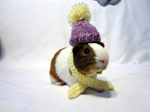 cold cute guinea pig winter - 8436389376