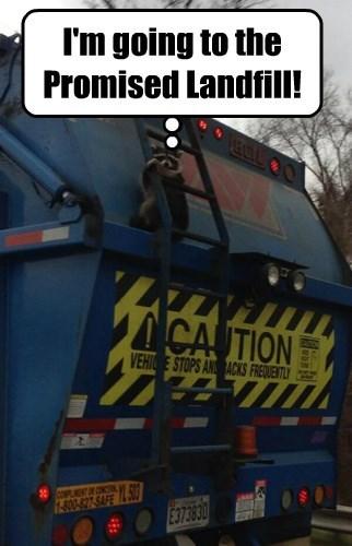 raccoon garbage - 8436868352