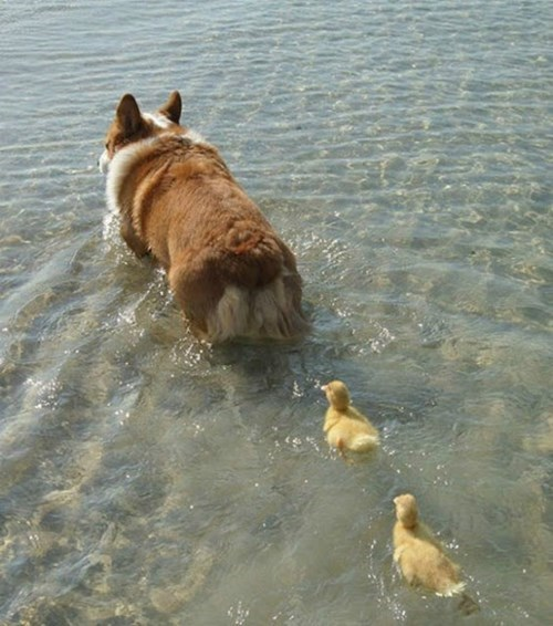 cute ducks dogs corgi - 8436955904