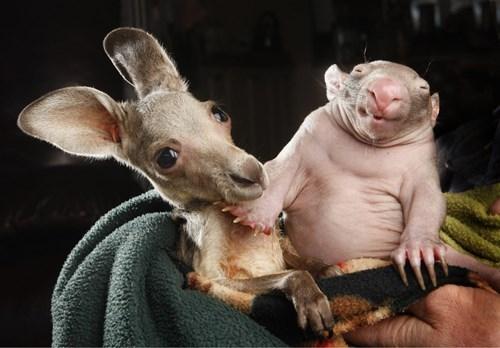 cute Joey kangaroo Wombat - 8436958208