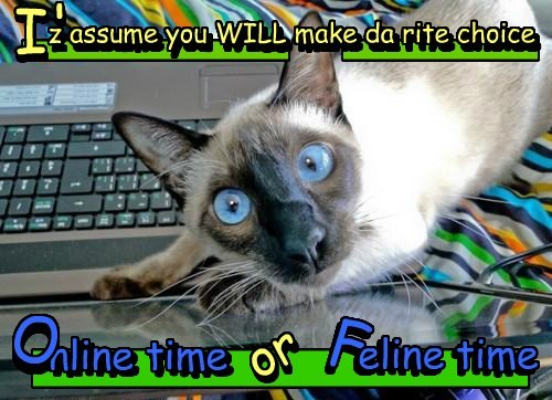 the internets,decisions,Cats,siamese