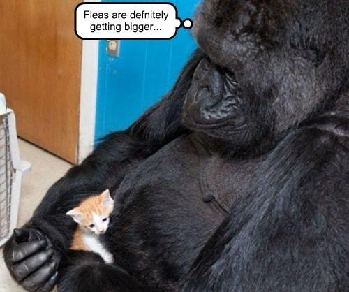 fleas Cats squee gorilla - 8437506304