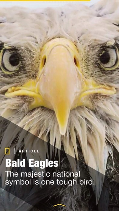national geographic bald eagles - 8438016256