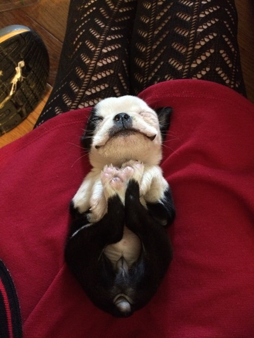 cute baby animals adorable-boston-terrier-puppy squee