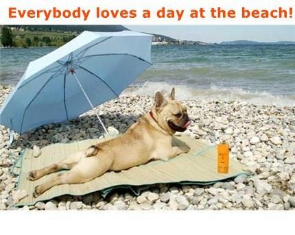 animals dogs tan french bulldogs beach - 8439062272
