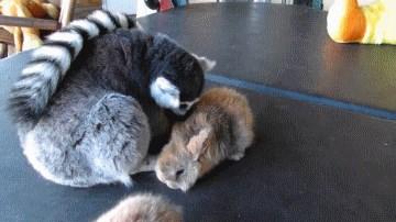 Lemur Wants to Hug Bunnies