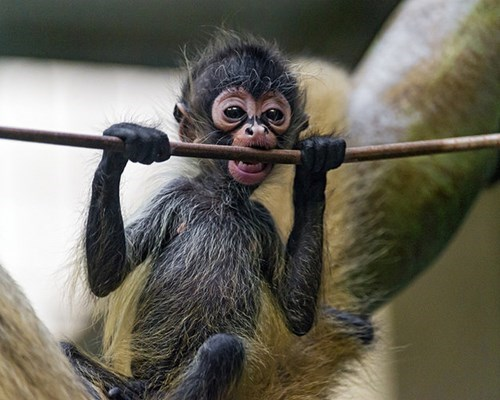 cute baby animal hang in there baby monkey monday