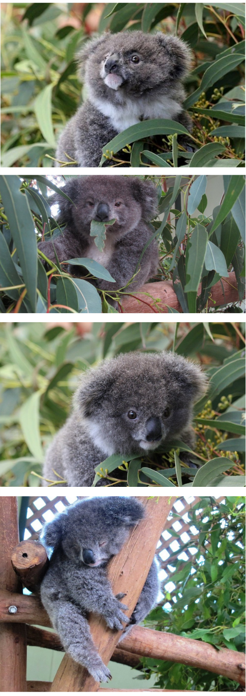 cute baby animals archer the cute koala