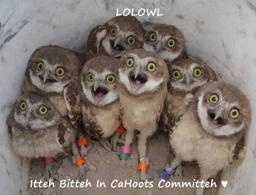 LOLOWL  Itteh Bitteh In CaHoots Committeh ♥