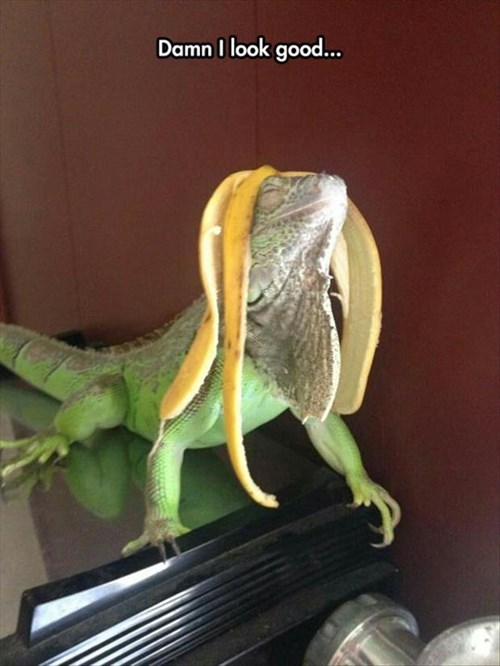 hair,looking good,reptile,banana,iguana
