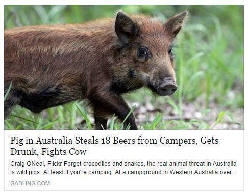 that is the greatest drunk pig ever.