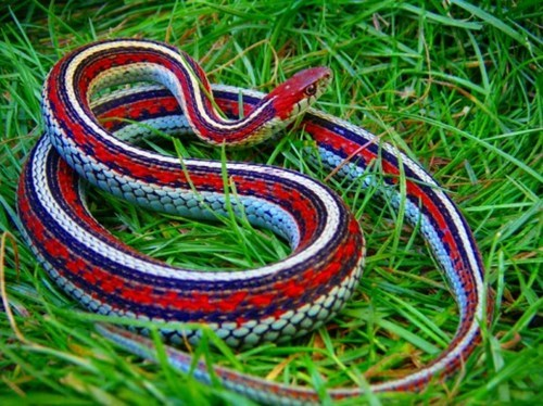 the-most-patriotic-snake