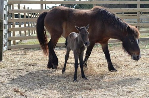 cute baby animal adopt a pony hazelnut
