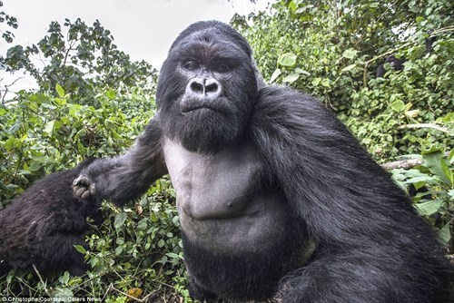 come at me bro fight punch gorilla