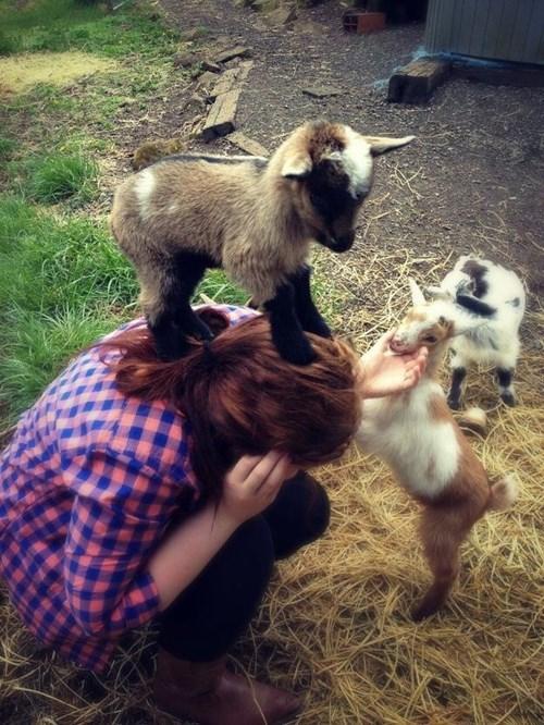 cute baby animals baby goats kidding around