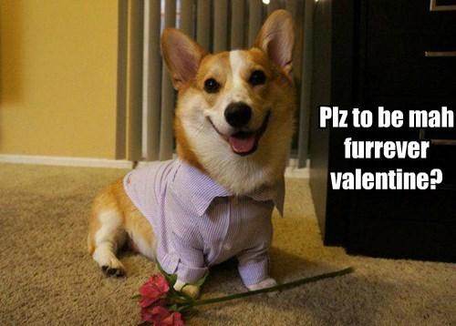 dogs corgi valentine - 8445879296