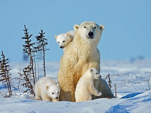 polar bear family photo family