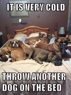 Afbeeldingsresultaat voor boxer dog meme I have a cold