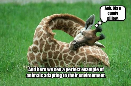adaptation giraffes nap - 8448124928