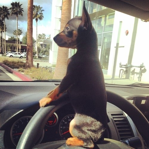 cute baby animal photos puppy driving
