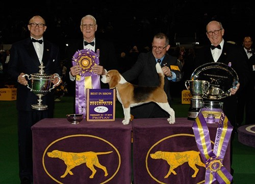 dog show dogs vine winner beagle