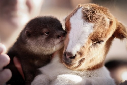 cute baby animal BFF baby goat and otter