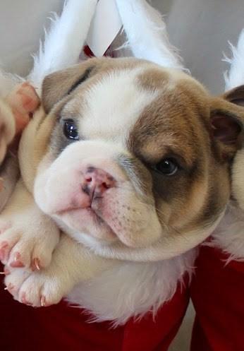 cute baby animal wrinkly bulldog puppy
