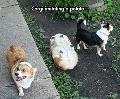 dogs,corgi,imitation,potato
