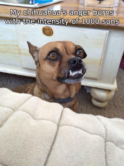 teeth chihuahua - 8449530624