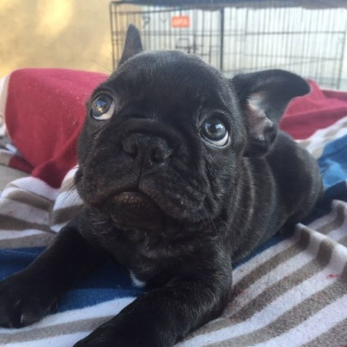 cute baby animals french bulldog puppy cuteness
