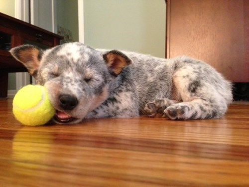 cute baby animals puppy sleeping with tennis ball