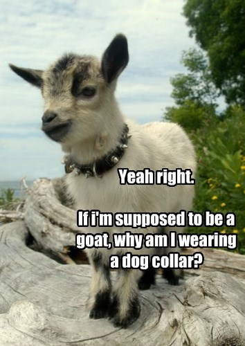 Yeah right. If i'm supposed to be a goat, why am I wearing a dog collar?