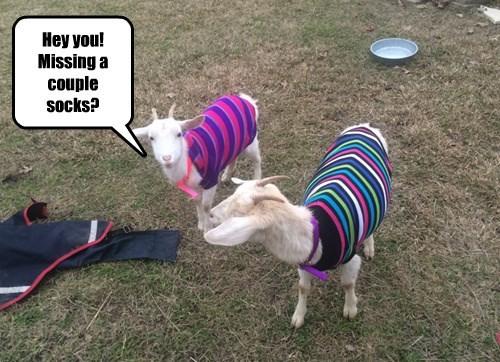 captions goats cute - 8450365440