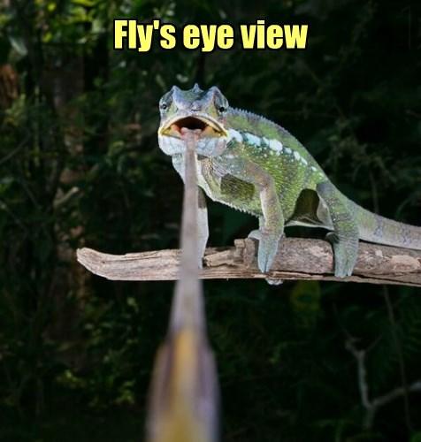 fly,chameleon,lizard,noms