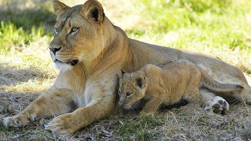 cute baby animals lion and cub
