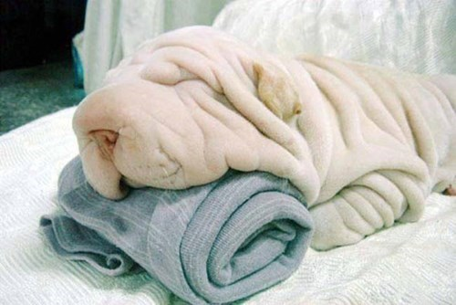dogs hidden nothing to see here shar pei towel wrinkles