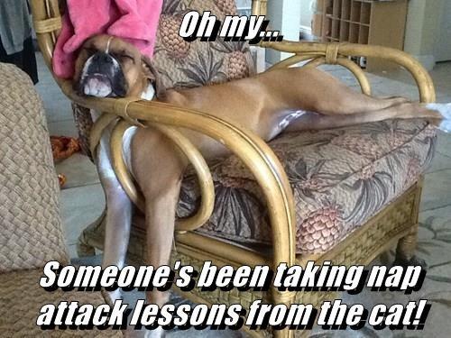 animals nap boxer - 8453094400