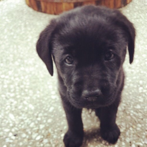 dogs puppy Black Lab broken squee - 8454183936