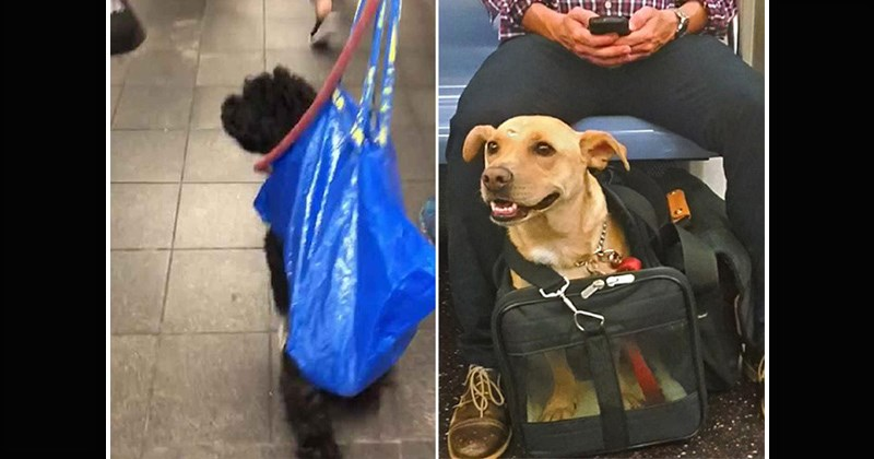 dogs nyc adorable funny pics cute new york Subway cute pics - 8454917