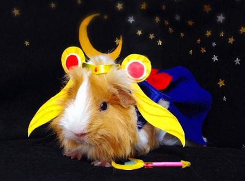 guinea pig sailor moon cosplay